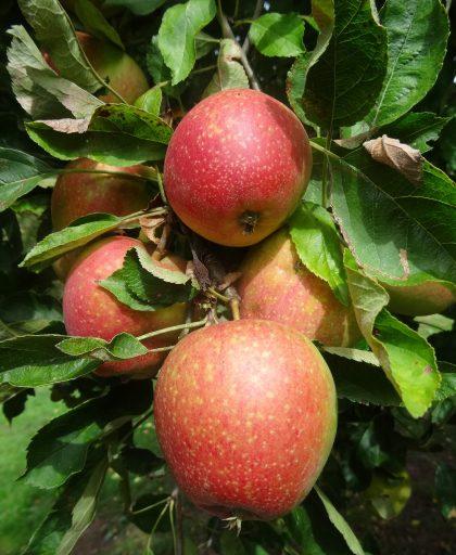 Adam's Pearmain apples