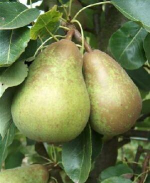 Pitmaston Duchess pears