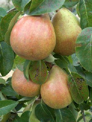 Pear Doyenne du Comice