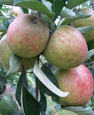 Lord Hindlip apples ripening