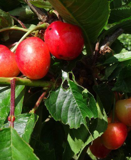 Merton Glory Cherry ripening in June