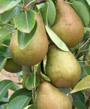 Pierre Corneille pears