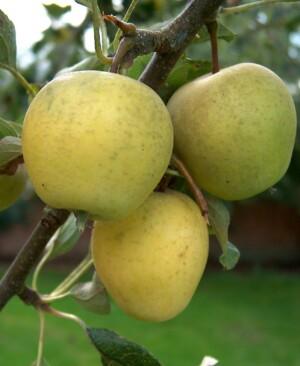 Apple Pitmaston Pineapple Walcot Organic Nursery