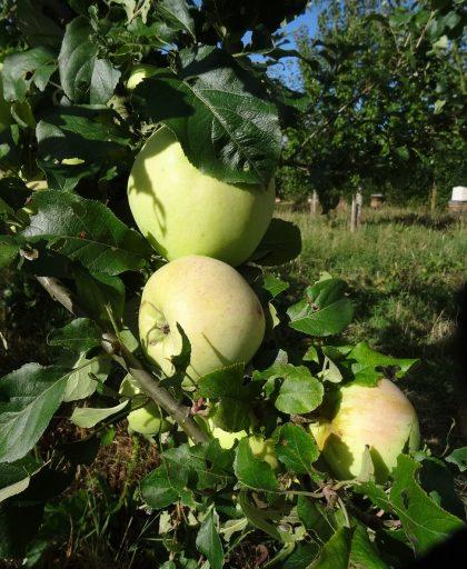 Rev W Wilks apple