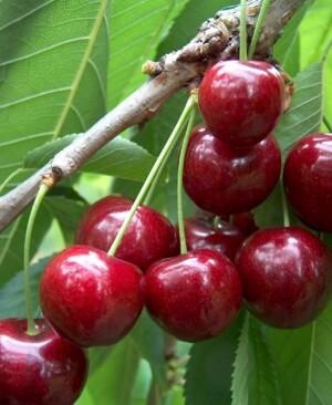 Ripe sunburst cherries