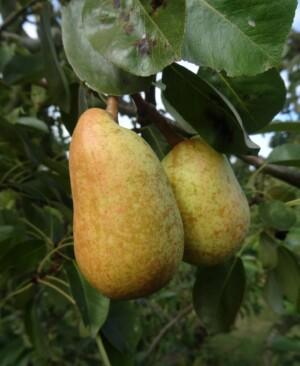 Beurre Precose Morettini pear