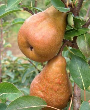 Pear Durondeau - Walcot Organic Nursery