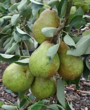 Pear Emile D'Heyst
