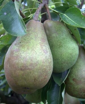 Glou morceau pears