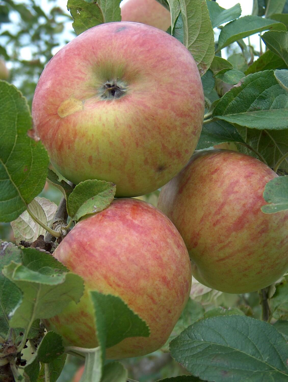 Howgate wonder apples