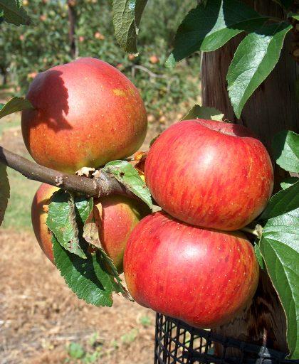 Apple May Queen - Walcot Organic Nursery