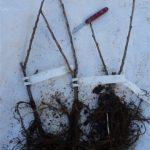 Planting Redcurrants