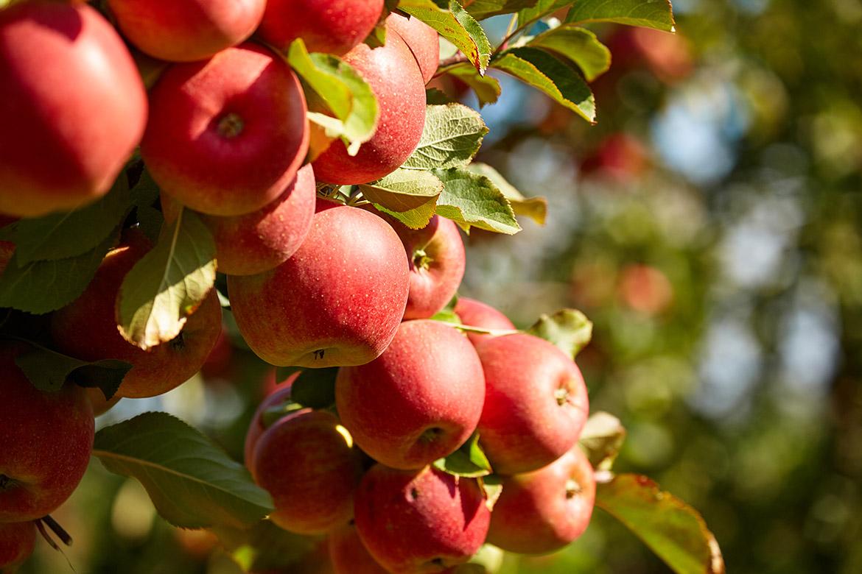 Fruit trees for sale organic buy fruit trees online for Fruit trees for sale
