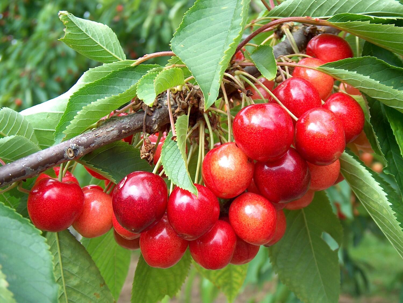 Ripening Stella cherries
