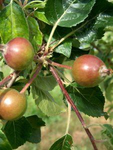 Dessert apple cluster after thinning