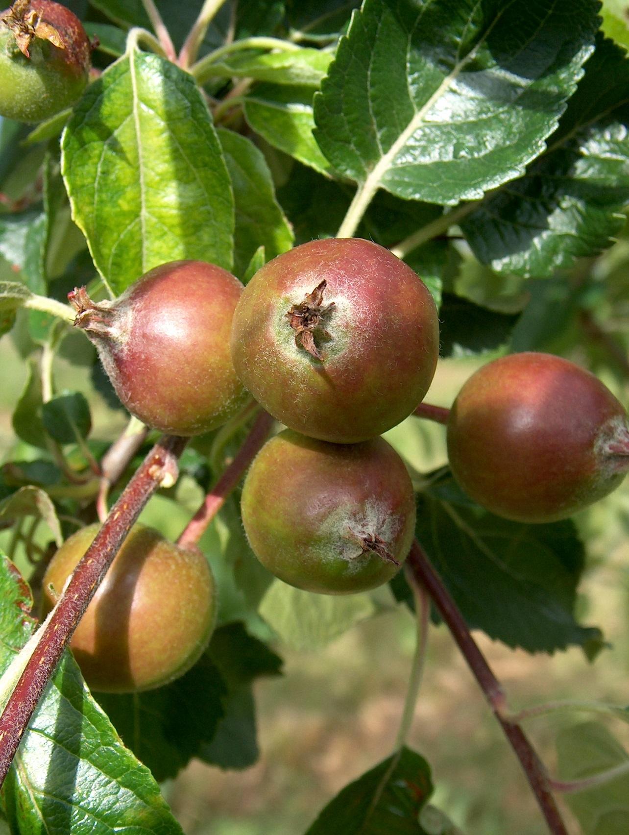 Dessert apple cluster before thinning