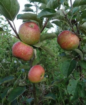 Irish Peach ripening in August
