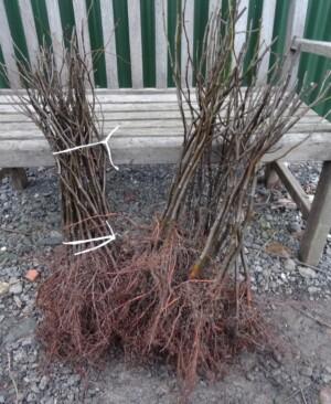 Moderate vigour pear rootstocks