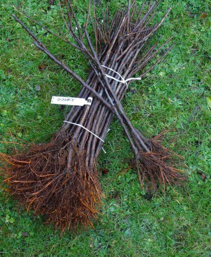 Plum rootstock St Julien A