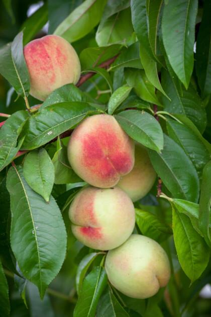 Peach Peregrine ripening