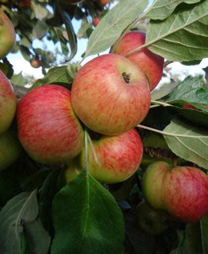 Brown's Apple ripening