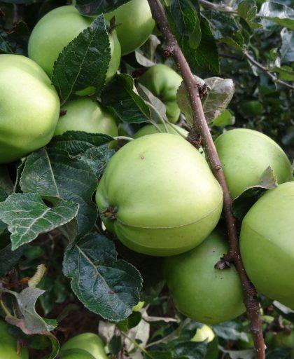 Keswick Codlin apples