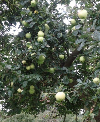 Keswick Codlin in fruit