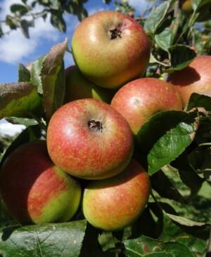Orlean's Reinette apples