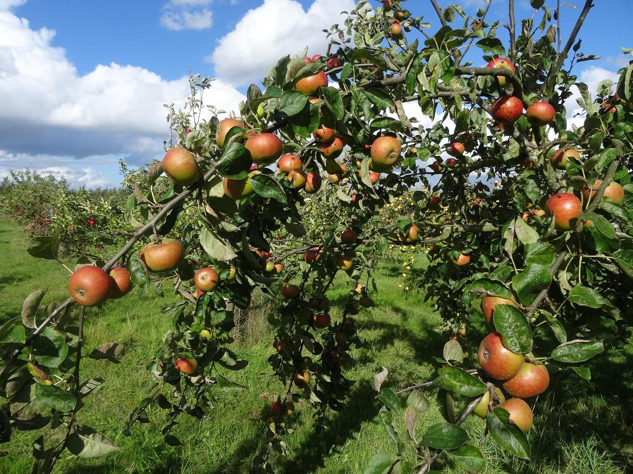 Orlean's Reinette apples ripening