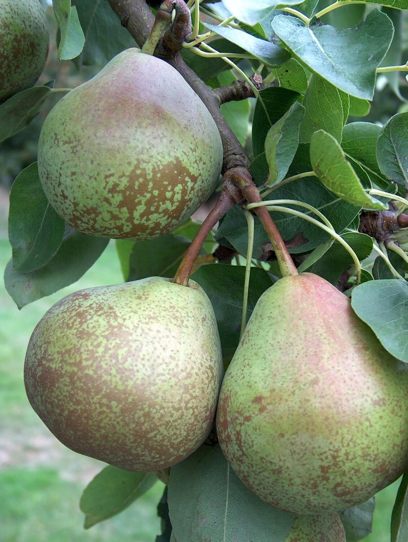 Winter Nelis Pears