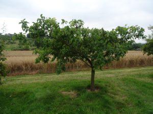 Pruned plum tree in July