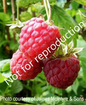 Glen Magna raspberries