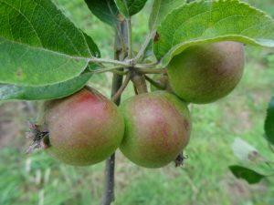 'King' fruit