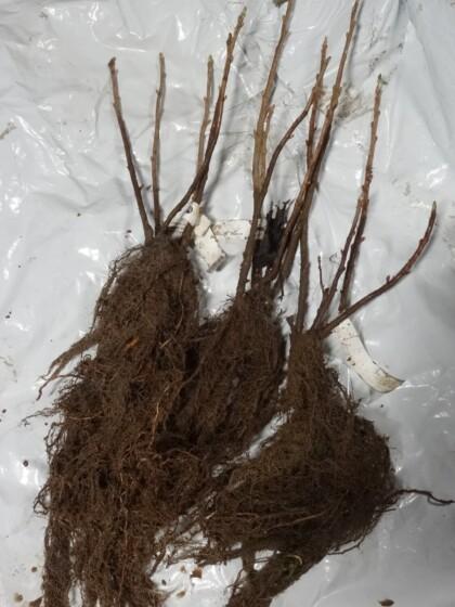Ben Connan blackcurrant bushes ready for dispatch