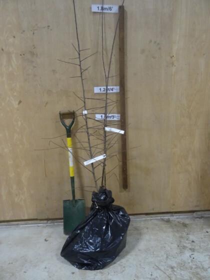 Farleigh Damson trees ready for dispatch