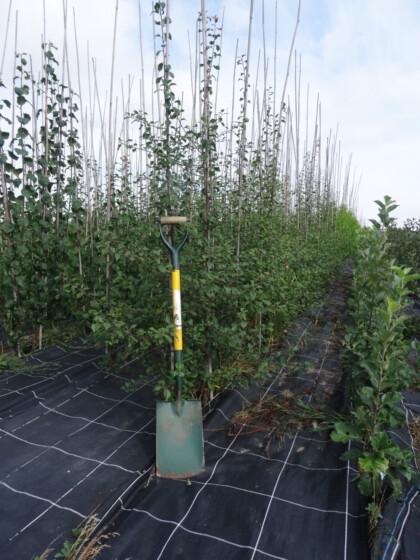 Sweet Damson Damson trees growing in August