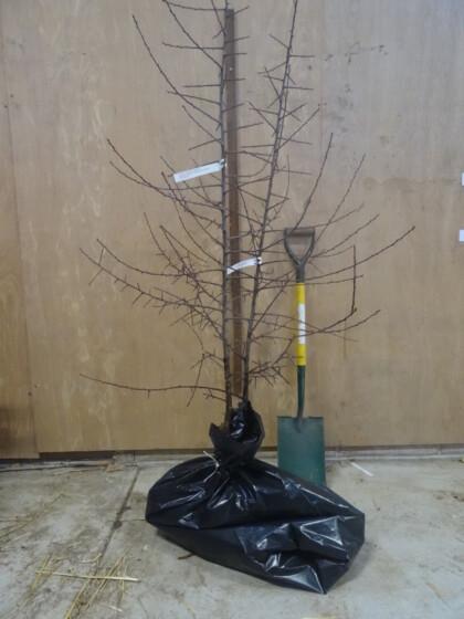 Sweet Damson Damson trees ready for dispatch