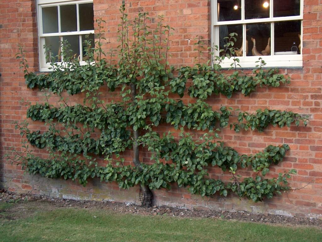 Pear espalier growing on a sunny wall