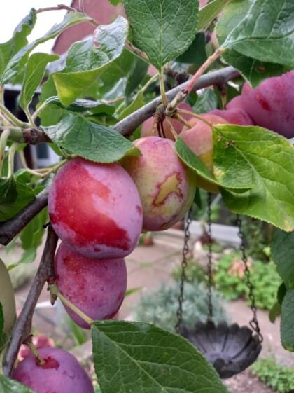 Mann's No 1 plums